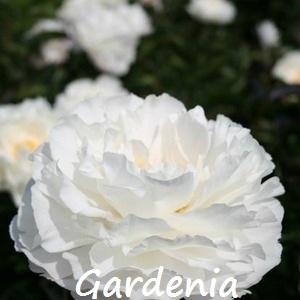 gardenia 2.jpg