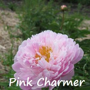 pink charmer.jpg