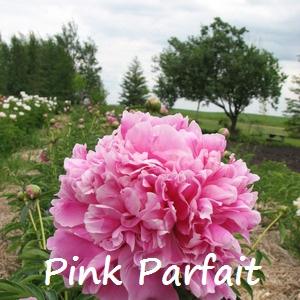 pink parfait.jpg