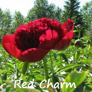 red charm.jpg