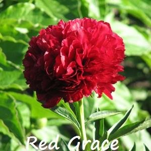 red grace.jpg