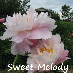 sweet melody.jpg