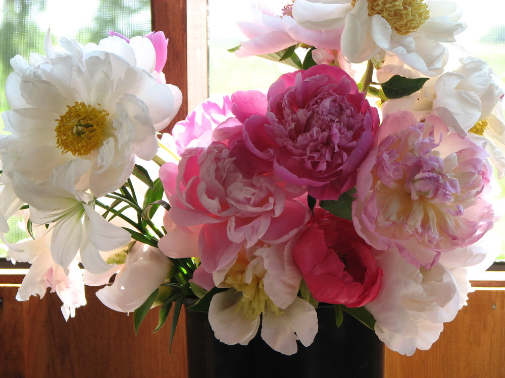Peonies for cut Flowers