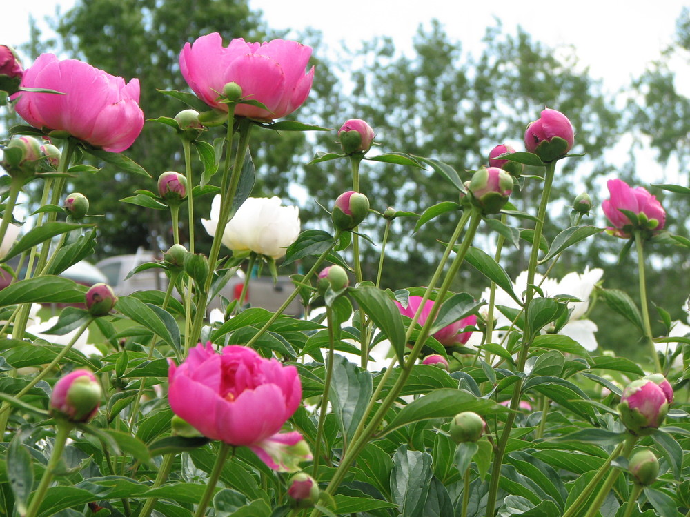 Peonies for the Landscape