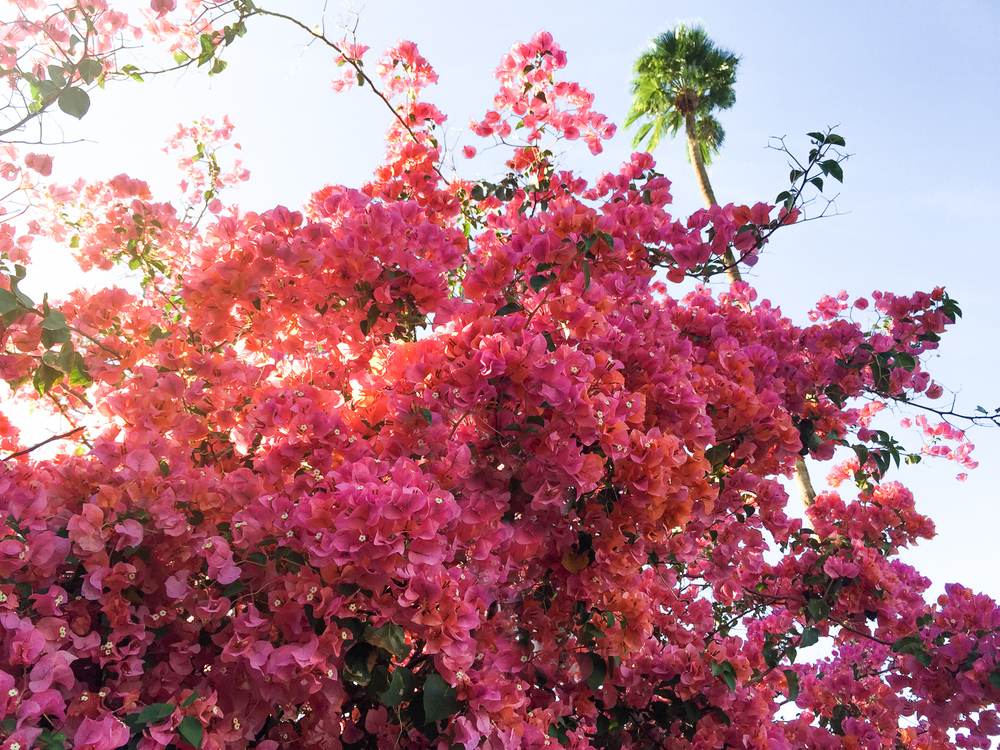 Pink Bougainvillea by Naomi Yamada