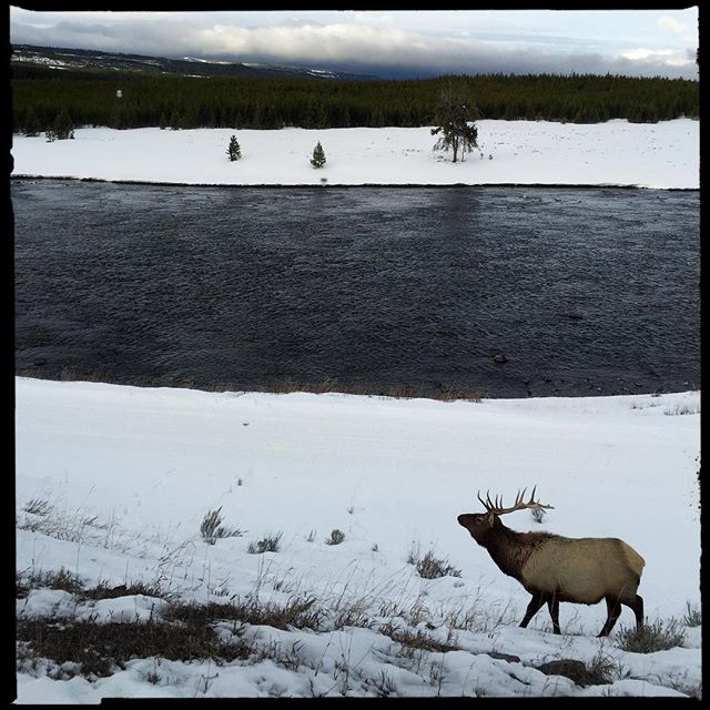Elk, Yellowstone National Park. #yellowstonenationalpark #NationalParks #Nature #Travel #iPhone #hipstamatic