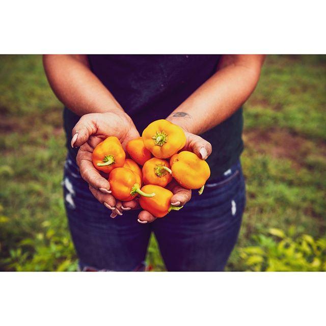 Organic.⠀ ⠀ ⠀ ⠀ #farm, #travel #newyork #FromFarmtoTable #organic #produce #market #getaway #travel #instagood  #foodphotography #farmers #agriculture #farming #farm #farmer #farmlife #agriculturelife #countrylife #women #nature #tomatos #colors #color #hands #womenfarmer #green