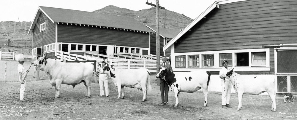 Consolidated Mining & Smelting Co. Ltd. show herd, winners at Warfield Farm with Bank of Montreal trophy (Hughes) - 1928