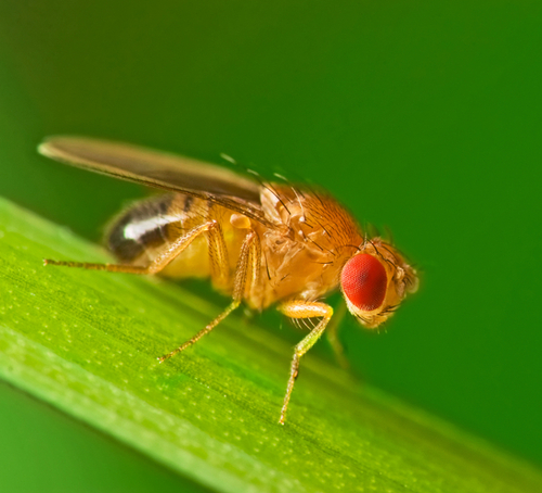 Fruit Flies are used by the CNCB to understand the brain and the way we learn