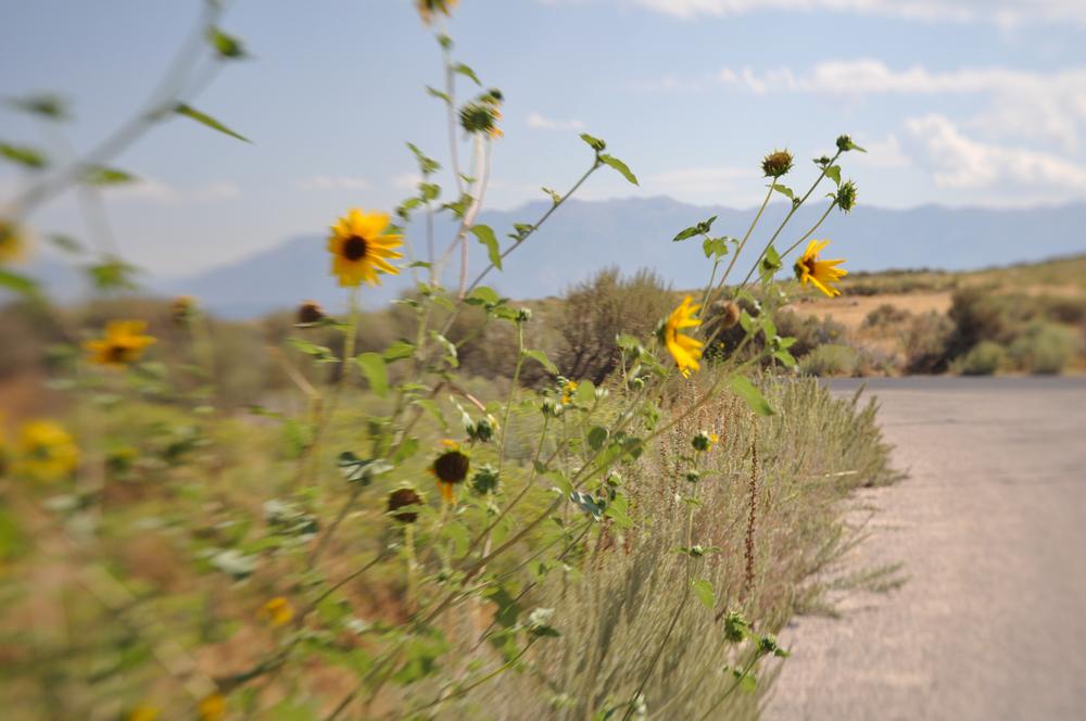 Sunflowers in Utah
