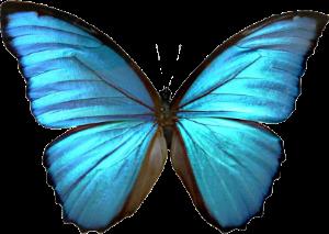 blue morpho transparent