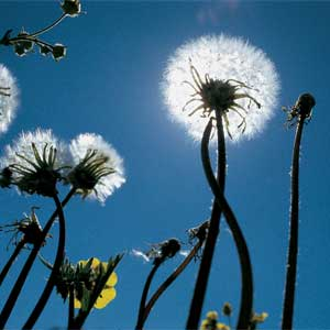 Dandelions Going To Seed