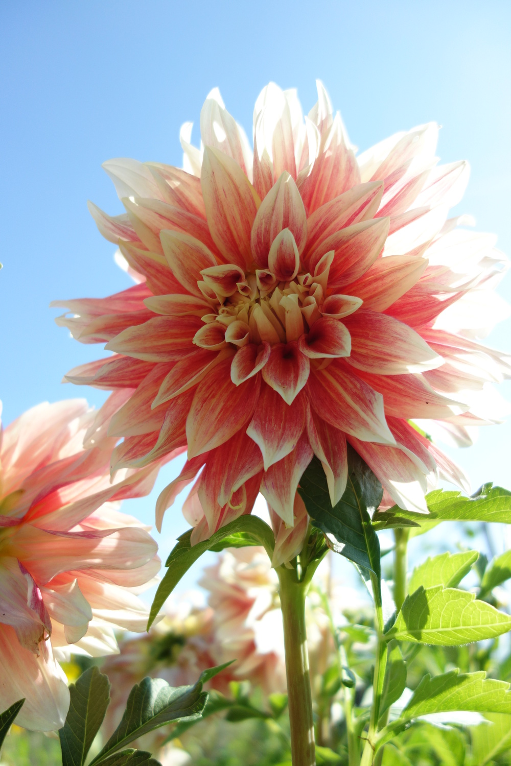 Late Summer Dahlia by Ann Marie Popko
