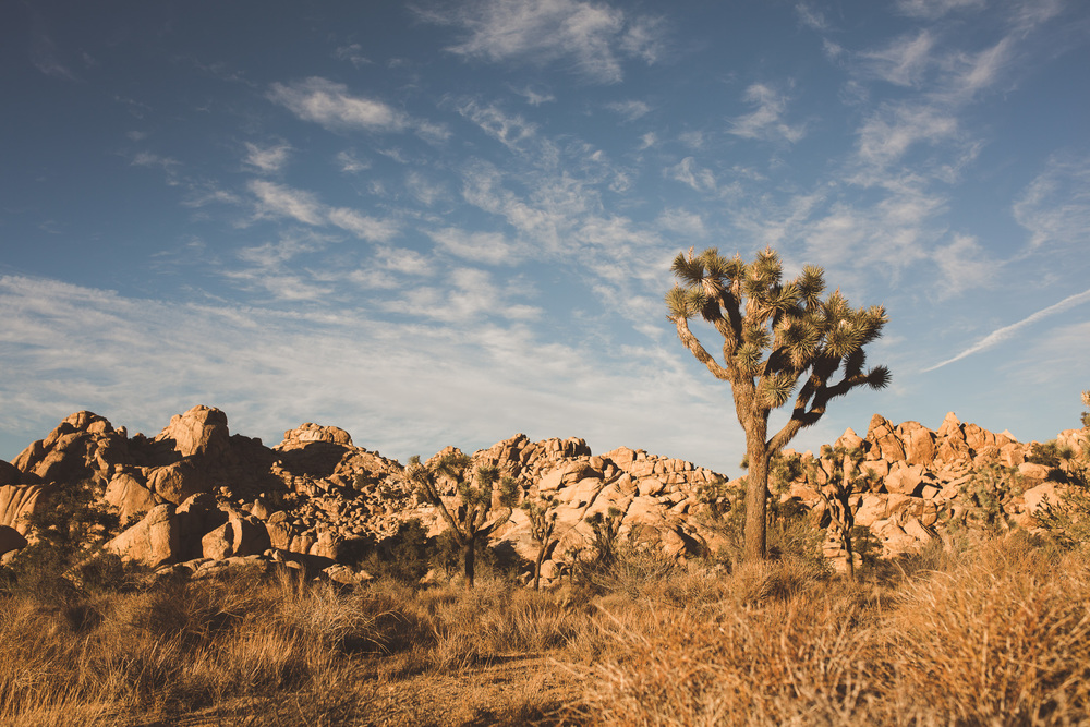 classic-joshua-tree-photo