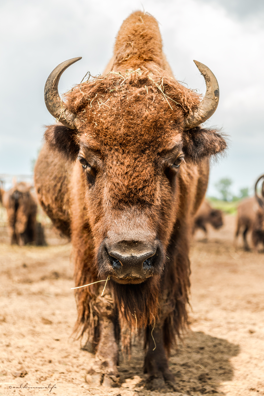 The North American Bison
