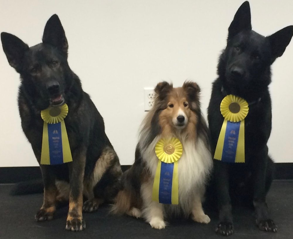 Maya, Duncan and Simon showing off their AKC Coursing Ability Novice titles.
