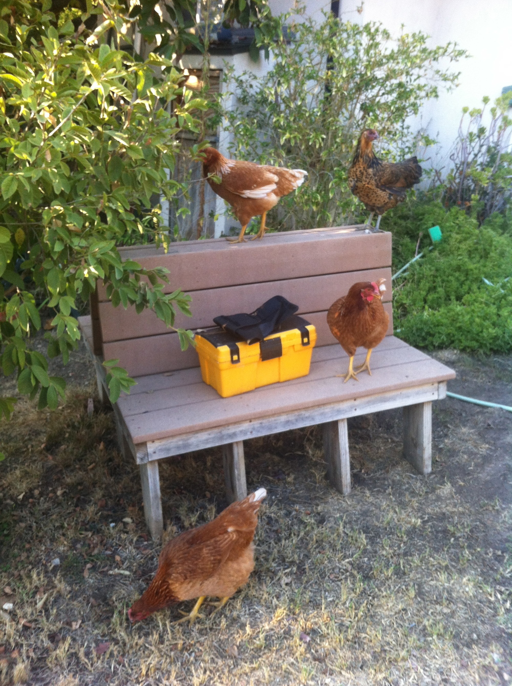 My chickens love their activity time.