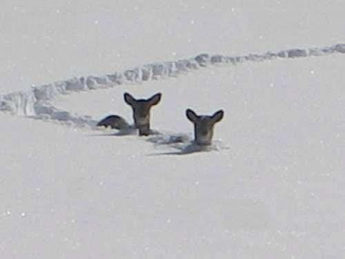 Snow deer.jpg