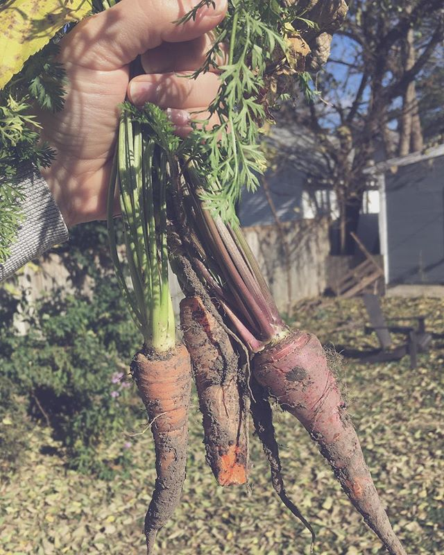 A whole summer of growing carrots...Not a very rewarding crop. . . #backyardgardening #calliopecarrots