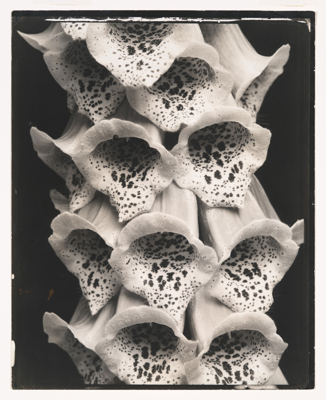 Edward Steichen (1879–1973), Foxgloves, France, 1925. Gelatin silver print, 9 15/16 × 7 15/16 in. (25.2 × 20.2 cm). Whitney Museum of American Art, New York; gift of Richard and Jackie Hollander in memory of Ellyn Hollander 2012.222. © 2014 The Estate of Edward Steichen/Artists Rights Society (ARS), New York.