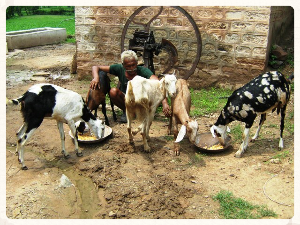 Ruchi project goats.jpg