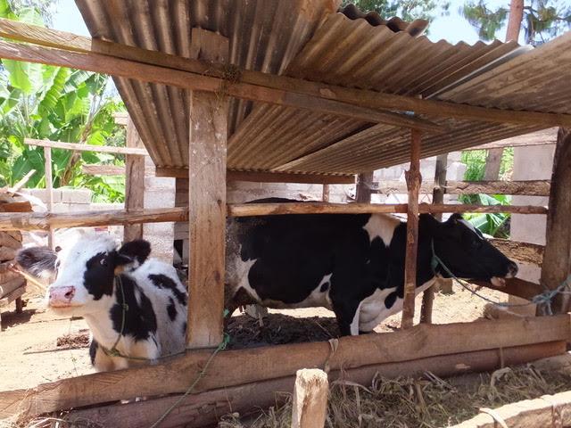 Rotary-Tanzania-cows.jpg