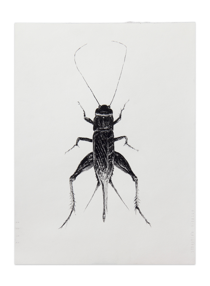 Grillo , 2012, Charcoal on paper, 30,5 x 22,9 cm