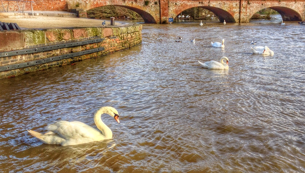 The Swans of Stratford