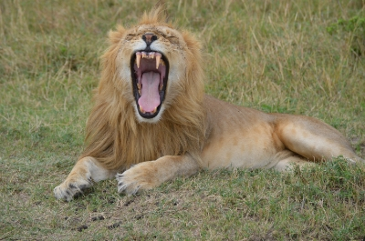 Male lion roaring (or is it a yawn??)