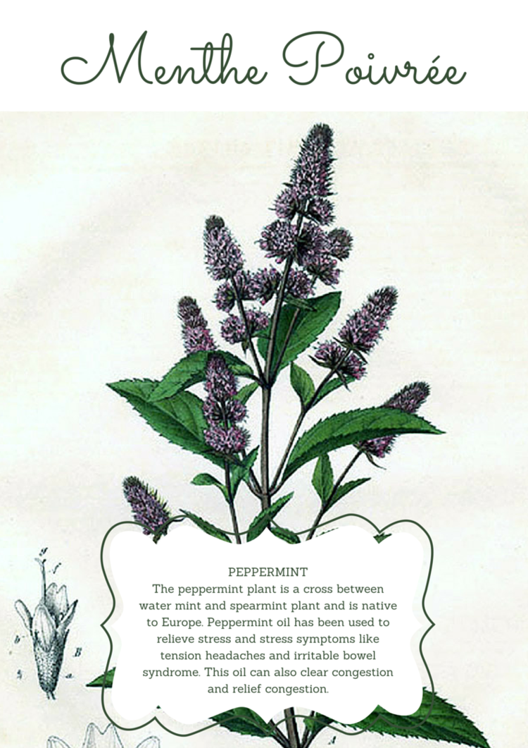 For pain relief (allergies or headache), apply 1 drop of menthe poivrée (oil) to the base of your neck twice per day! (See anatomy translations below).