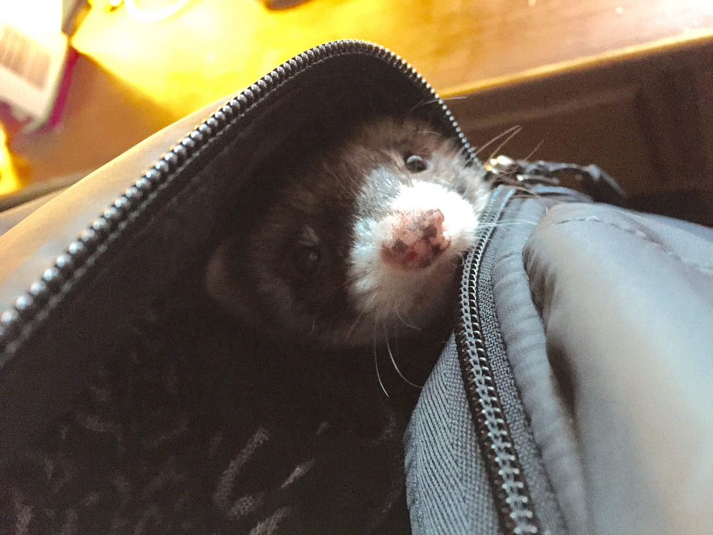 Weasel in my pocket