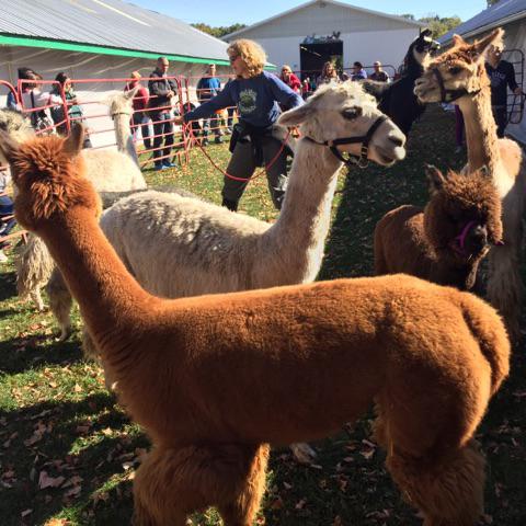 rhinebeck alpacas.jpg