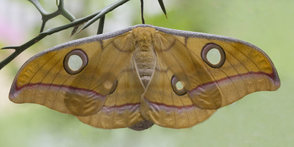 tussar moth.jpg