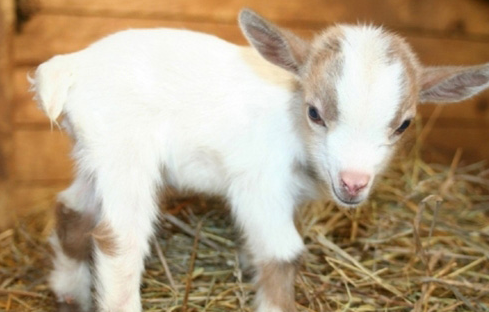 This is a baby goat...