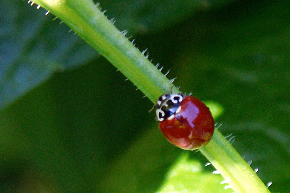 lady bugDSC08472.jpg