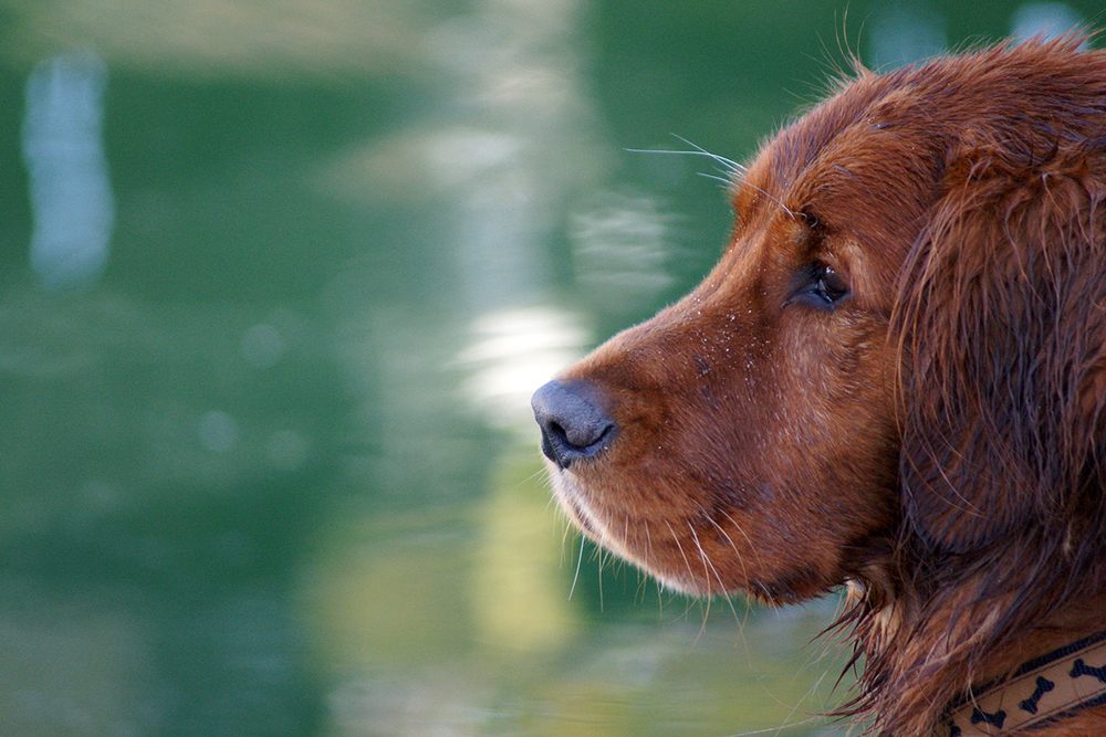 red dog profileDSC03987.jpg