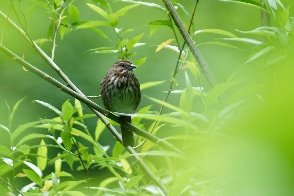 song sparrowDSC08685.JPG