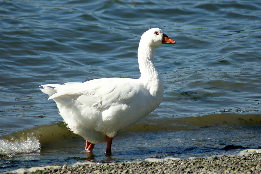 Sum kinda white goose, Cornet Bay