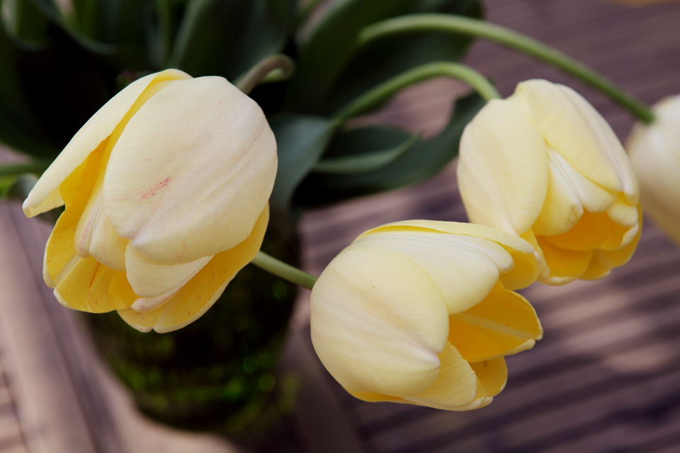 The Ivory Floradale Tulip, days after blooming.