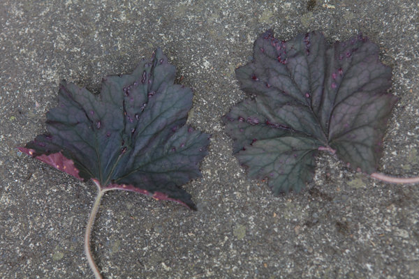 Top of heuchera leaves infested with spider mites - pock marked.