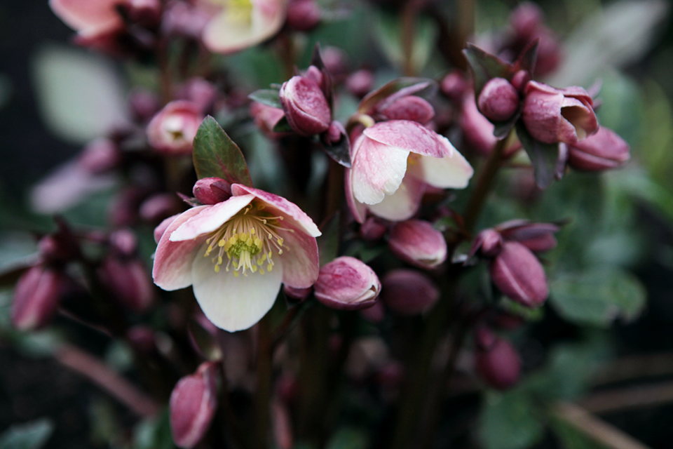 Helleborus x ballardiae 'Merlin' One of my favorites and another early bloomer.  Outward facing pink blooms mature to a deep cranberry.  Dark green, slightly marbled foliage with dark burgundy stems...striking!  Wonderful when planted with early or mid-spring blooming powder pink tulips!  Photo by Holly Stickley