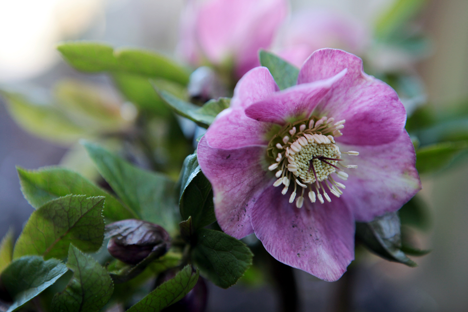 Helleborous orientalis, the Lenten Rose Photo by Holly Stickley