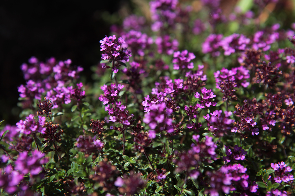 Red Creeping Thyme.  Photo by Holly Stickley.