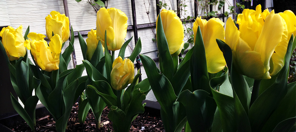 Nothing better than yellow in spring — sunburst of energy & beauty! Photo by Holly Stickley