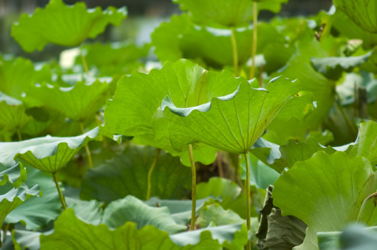 Water Lilly Leaves Hongcun Village (Nikon D2H + 40mm f2 ULTRON)