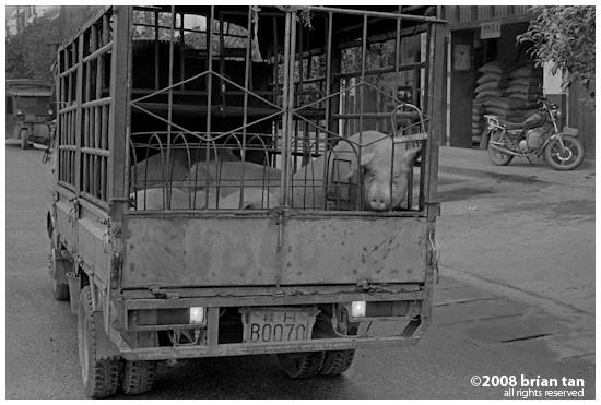 Gaotian: Truck full of live pigs