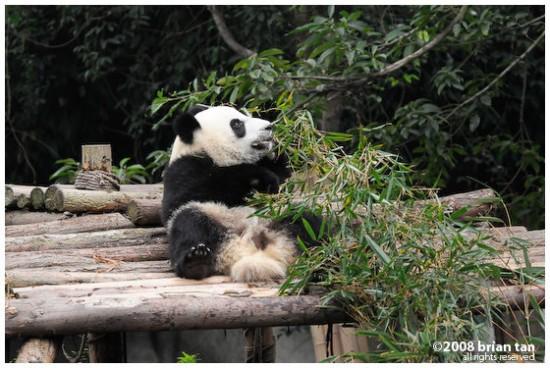 Panda and breakfast