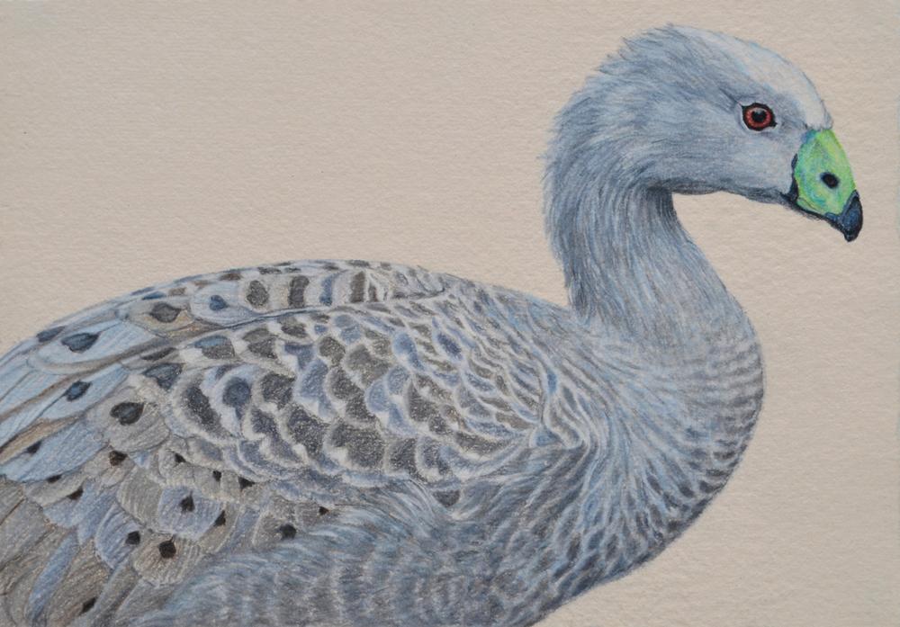 Cape Barren Goose III