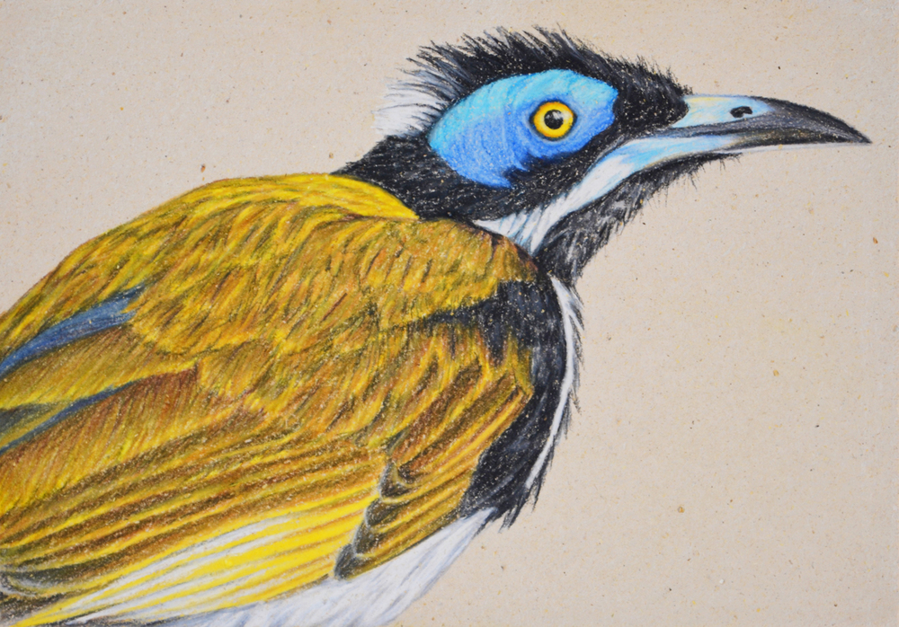 blue-faced-honeyeater-2-drawing-rachel-newling.jpg