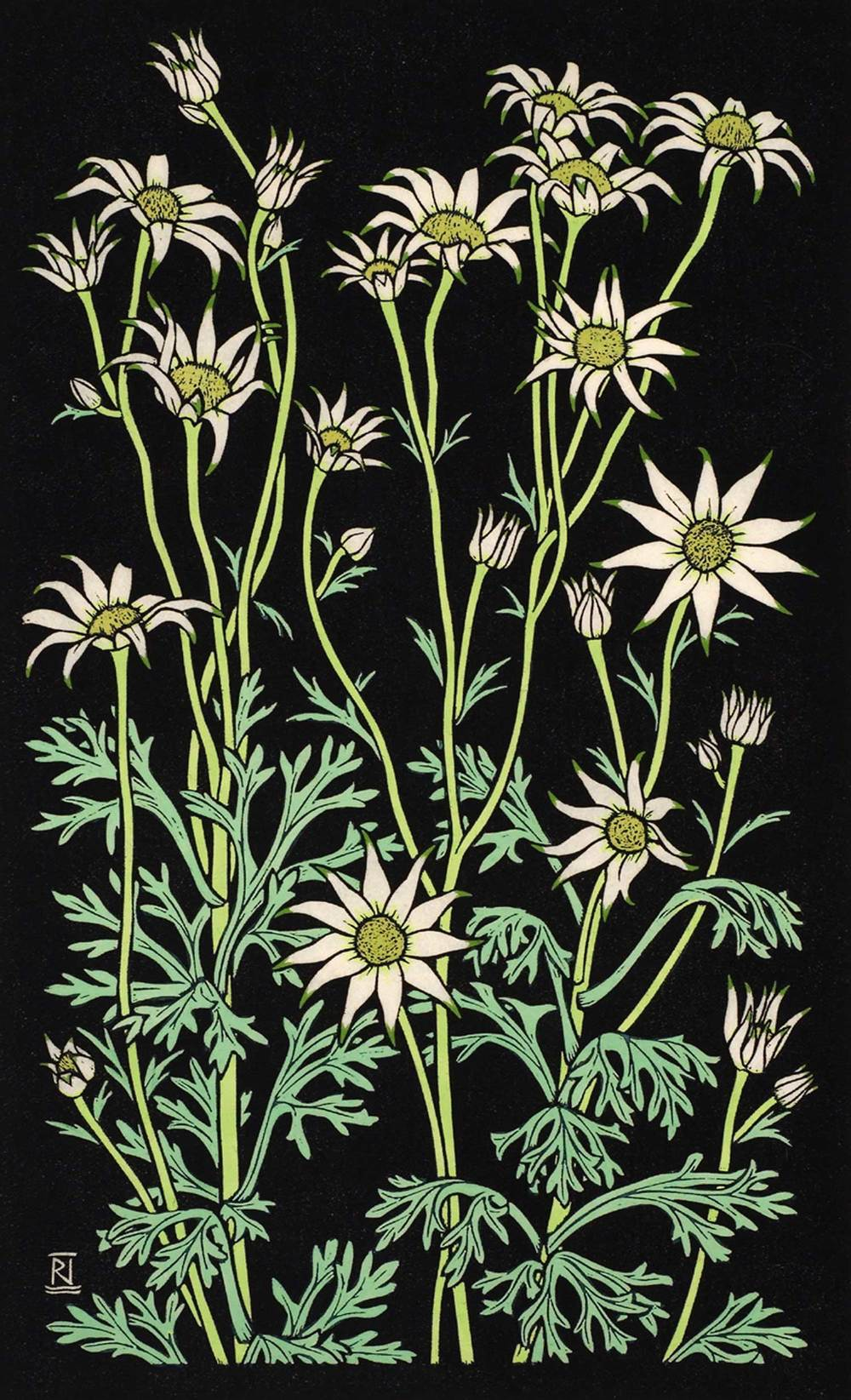 FLANNEL FLOWER III 49 X 30 CM    EDITION OF 50 Hand coloured linocut on handmade Japanese paper $950
